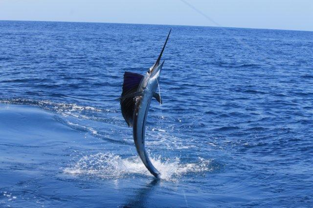 Sailfish jumping high - photo#3