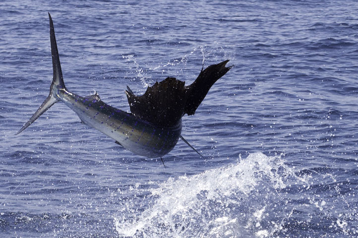 Sailfish jumping high - photo#10