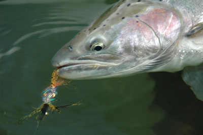 Skagit River wild steelhead caught on a swung fly. Photo by Rob Endsley