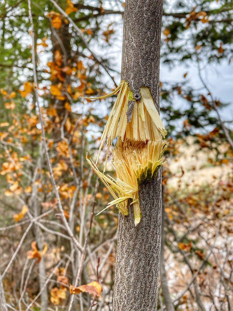 Hornady 200 grain ELDX takes out tree at 625 yards and still takes buck - photo Joe Pyburn